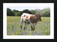 Longhorn and Bluebonnets Picture Frame print