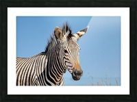 Zebra 5091 Picture Frame print