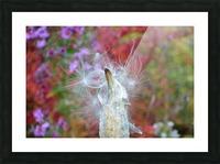 Milkweed Seeds Picture Frame print