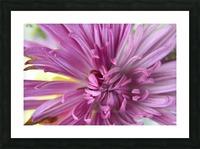 Fuscia-Colored Aster Picture Frame print