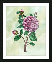 Botanical Watercolor Japanese Camellia Flower  Picture Frame print