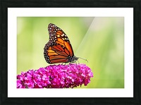 Monarch On Magenta Buddleia Picture Frame print