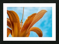 Orange Iris 3 Picture Frame print