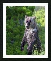 A grizzly cub named Pepper Picture Frame print