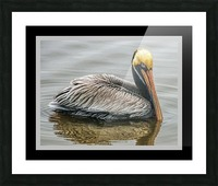 Brown Pelican II - HDR Picture Frame print