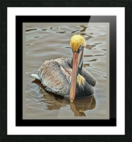 Brown Pelican - HDR Picture Frame print
