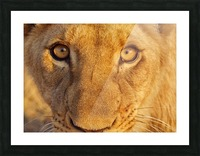 Lion Eyes  Picture Frame print