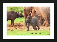 Elephant Baby 582 Picture Frame print