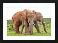 Addo Elephants 45 Picture Frame print