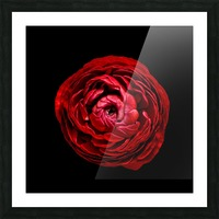 Anemone_3 Picture Frame print