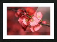 Flowering Quince Of Spring Picture Frame print