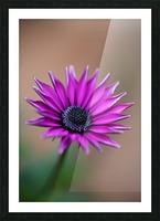 Purple Daisy Picture Frame print