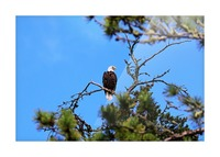 Bald Eagle Looking Regal Picture Frame print