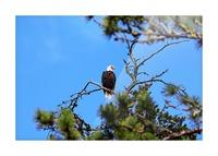 Bald Eagle Looking Regal Impression et Cadre photo