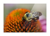 Purple Coneflower with bee Picture Frame print