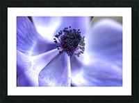 Blue Anemone Picture Frame print