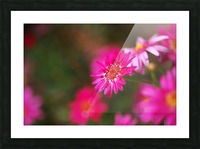 Hot Pink Small Daisy Picture Frame print