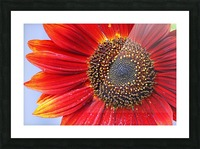 Ruby Red Sunflower Picture Frame print