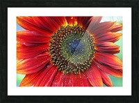 Red Sunflower With Yellow Tips Picture Frame print