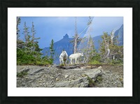 Mountain Goats at Logan Pass Picture Frame print