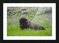 Bison in Wildflowers Picture Frame print