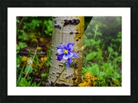 Columbine Picture Frame print