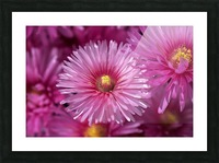 Pink Ice Plant Flowers Picture Frame print