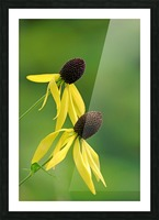 Great Coneflower Picture Frame print