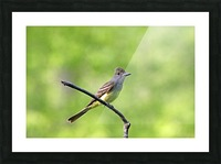 Great Crested Flycatcher With Snack Picture Frame print