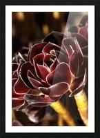 Purple Aeonium Succulent Picture Frame print