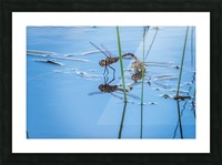 Dragonflies  Picture Frame print