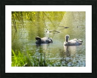 Cygnets Picture Frame print