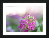 Pink Flowers Soft Photography Picture Frame print