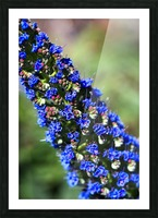 Veronica Flower Of  Spring Picture Frame print