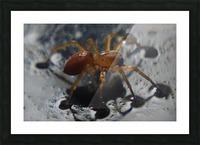 Spider treading water Impression et Cadre photo