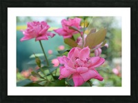 Pink Rose Garden Photograph Picture Frame print