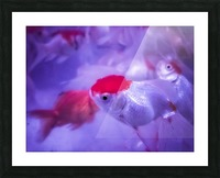 Golden Fish  Picture Frame print