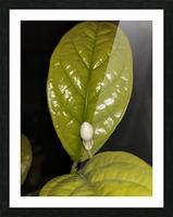 Jasmine Flower Fragrance Picture Frame print