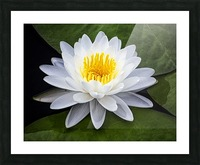 LIly Picture Frame print