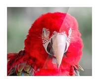 Red Parrot  Picture Frame print