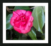 Japanese Camellia Picture Frame print