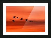 Sandhill Cranes at Sunset Picture Frame print