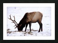 Elk in Wyoming Picture Frame print