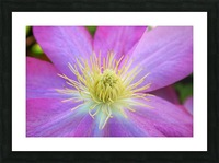 Purple Clematis Picture Frame print