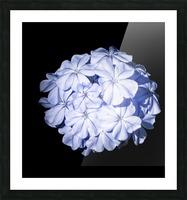 Blue Plumbago Picture Frame print