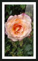 Peach Rose Picture Frame print