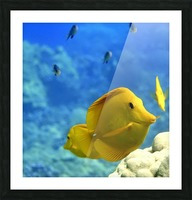 Yellow  a yellow tang  Picture Frame print