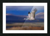 Crane over the Bosque Picture Frame print