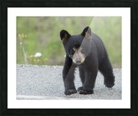 Baby Black Bear Picture Frame print