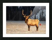 Bull Elk Picture Frame print